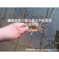 蟹苗      (70只~80只)/斤长江大闸蟹蟹苗 阳澄湖大闸蟹