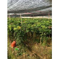 泉州果树苗培育产区