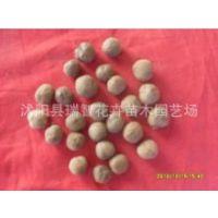柚木苗种子 金丝柚木种子 缅甸柚木种子 柚木树种子 柚木种子