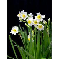西安专业植物提取物水仙提取物 纯天然