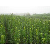 哪种绿化植物可以改善空气质量