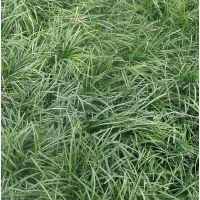 麦冬草麦冬草批发麦冬草基地