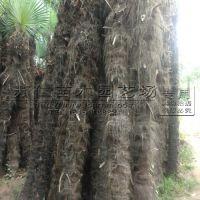 供应大棕榈树价格