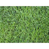 西安早熟禾草坪种植基地