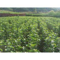 树苗 梨树实生苗 大量供应梨树苗 现货出售嫁接梨树苗 质优价