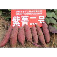 禾下土脱毒紫菁二号红薯苗商品性高、综合性状好