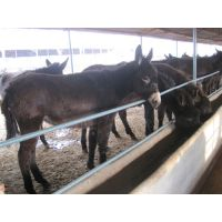 山东鲁西黄牛养殖场让你现实生活奔小康纯种肉驴养马场爱马