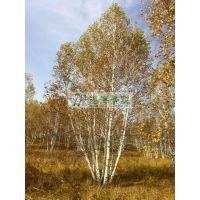 供应 精品白桦 景观树 供应白桦 丛生白桦