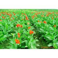 供应书带草、萱草,葱兰、玉簪、矮化美人蕉,地被绿化苗