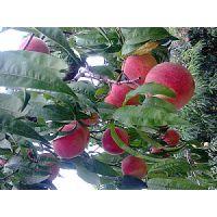 供应晚熟桃品种