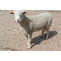 现在绵羊什么品种好 杜寒杂交羊,小尾寒羊怎么样 价格多少