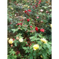 供应;地被月季藤本月季 品种月季 红帽月季 丰花月季