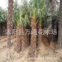 棕榈树直销 绿化苗木 园林棕榈 大型苗木 大棕榈苗 棕榈类植物