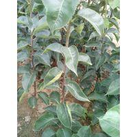 梨树苗,山东梨树成苗,双8圆黄梨树苗价格,圆黄梨苗