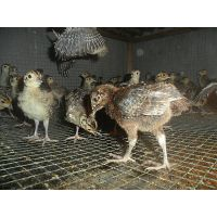 供应重庆山鸡养殖,山鸡苗价格,脱温山鸡苗养殖技术