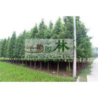 精品水杉供应,水杉价格,水杉产地