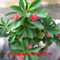 供应盆栽迷你小植物 虎刺梅 刺的锐利,梅的风韵