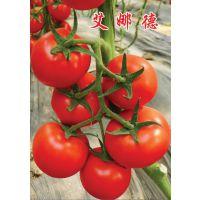 """供应抗TY病毒高产红果番茄种子—""""艾娜德"""""""