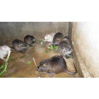 供应养海狸鼠适合种植的牧草品种