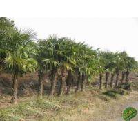 供应棕榈树的价格与介绍棕榈树多少钱一棵