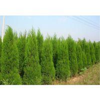 卖13万塔柏苗木甘肃陕西绿化用高1.5米--3米塔柏 桧柏 蜀桧种植基地