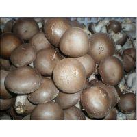 平泉繁荣食用菌大量供应优质香菇