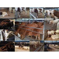 长年供应鲁西黄牛 西门塔尔牛 利木赞牛 ***低的价格的品质