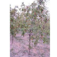 哪里有6公分枣树7-8公分占地枣树