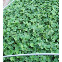 供应丰香草莓苗,新疆草莓苗,抗旱草莓苗品种