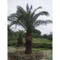 福建漳州加拿利海枣 杆高50-3米 种棕榈科苗木加拿利海枣 优质加拿利海枣