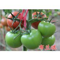 供应高产抗病红果番茄种子