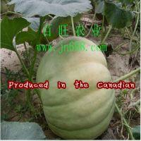 绿巨人特大南瓜种子 特色瓜果种子齐全
