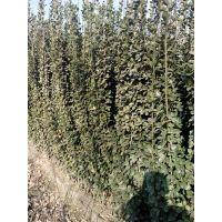 山东那里北海道黄杨便宜,1米北海道黄杨价格,1.8米北海道黄杨种植基地