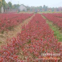 供应红叶石楠小苗,红叶石楠价格 红叶石楠球价格 绿化苗木批发