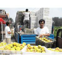 供应八三黄桃销售 一九黄桃原料 哪里黄桃便宜