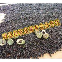 扬帆苗圃供应文冠果种子,文冠果种子价格