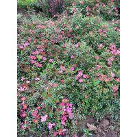 供应;蔷薇月季 地被月季 品种月季 红帽月季 丰花月季 藤本月季 绿化苗木