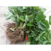 山东草莓苗品种有哪些