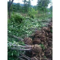 供应紫荆苗60-150公分高 满条红 紫荆丛生 巨紫荆 紫荆 绿化苗木价格
