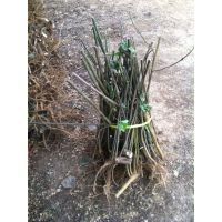 江苏构树价格构树苗苦楝桑树苗价格绿化苗木