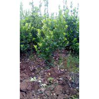 处理大叶黄杨苗木陕西40万棵大叶黄杨贱卖了2年大叶黄杨丛生苗