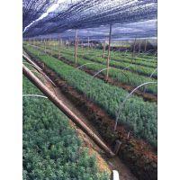 红豆杉供应、奉新县张家苗木场红豆杉供应商、绿化小苗供应|乔灌木,