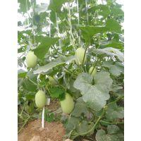 鼎优农业甜瓜种子--圣帕