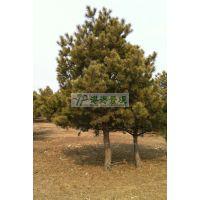 供应樟子松2-8米 樟子松价格 樟子松报价 常绿乔木