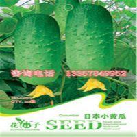 供应黄瓜种子  进口黄瓜种子  厂家直销 量大从优