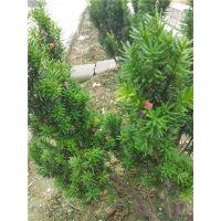 红豆杉怎么养、红豆杉树、鸿林苗木