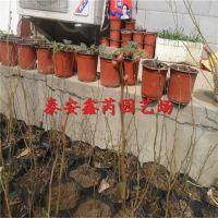 山东蓝莓、山东蓝莓苗研发中心供应蓝莓苗