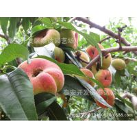 桃树苗价格 桃树苗新品种 桃苗基地 桃树苗多少钱一棵
