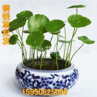 铜钱草花卉绿植盆栽迷你可爱桌上宠物花水生水培植物书房