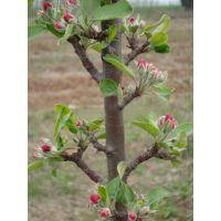 润太一号高产柱状苹果树密植柱状苹果柱状苹果树苗